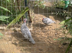 Blue Slate Turkeys